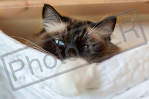 Blue-Eyed Ragdoll Cat in Hammock